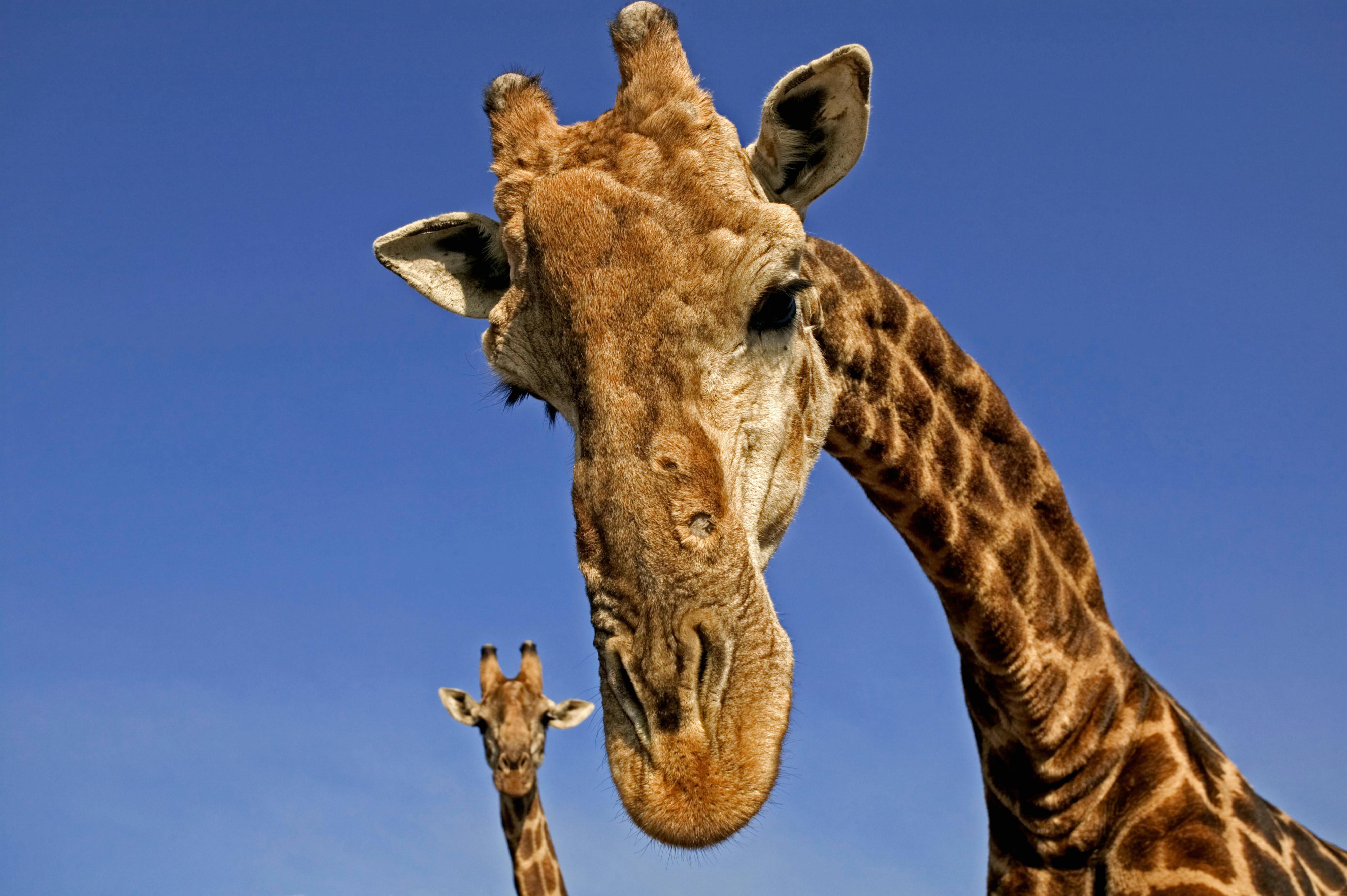Een Gek Dier De Giraf: Rangerclub