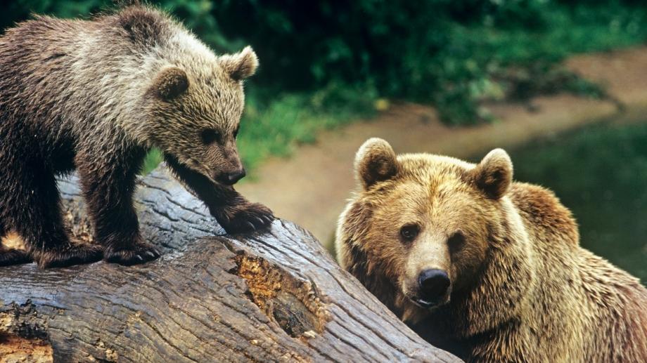 Wonderbaarlijk Bruine beer : Identiteitskaart | Rangerclub AE-27