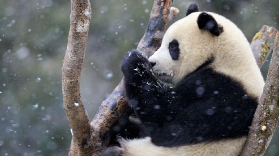 panda g ant carte d 39 identit rangerclub. Black Bedroom Furniture Sets. Home Design Ideas
