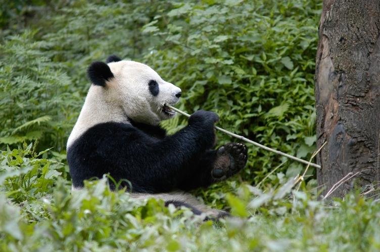 """Résultat de recherche d'images pour """"panda géant"""""""