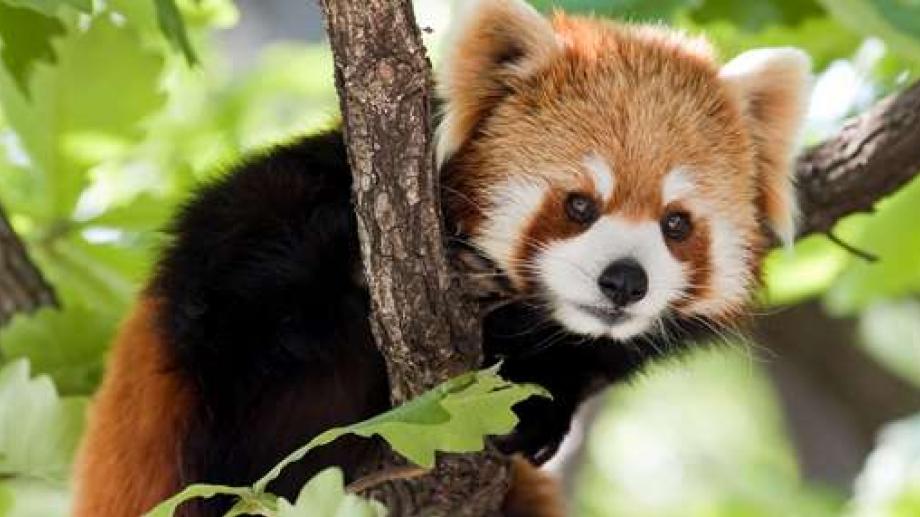 panda roux carte d 39 identit rangerclub. Black Bedroom Furniture Sets. Home Design Ideas